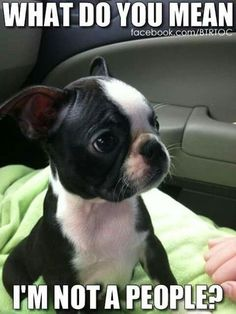 More About Friendly Boston Terrier Puppies Exercise Needs Cute Puppies, Cute Dogs, Dogs And Puppies, Doggies, Bulldog Puppies, I Love Dogs, Puppy Love, Cute Baby Animals, Funny Animals