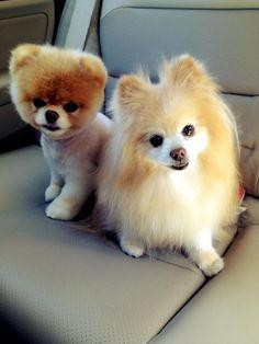 How lovely and precious - Pomeranians!