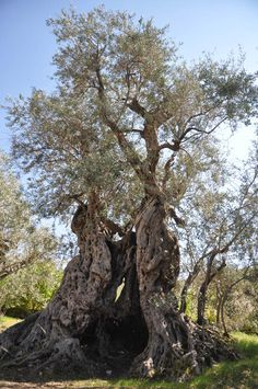 The Sisters Olive Trees of Noah, the oldest olive trees on earth. https://www.facebook.com/Sistersolive