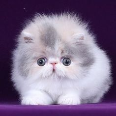 What do you need to know before considering Persian cat adoption? You will never miss the crucial thing to adopt a cat. Kittens And Puppies, Cute Cats And Kittens, Baby Cats, Kittens Cutest, Pretty Cats, Beautiful Cats, Cute Baby Animals, Funny Animals, Munchkin Kitten
