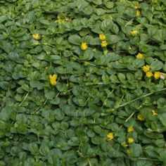 Lawn substitute  Creeping Jenny