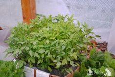 Cum calim rasaduri inainte de a le muta in gradina Herbs, Landscape, Garden, Beauty, Fashion, Tomatoes, Plant, Moda, Scenery