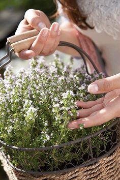Winterharde laurier, rozemarijn, oregano en tijm zijn populair, maar ook bieslook en munt zie je veel in potten en borders.