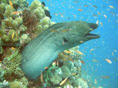 Moray Eel - Kuredu Maldives 2006