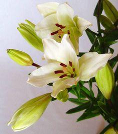 Flores de Lilium Asiático blanco. - http://www.floresyplantas.net/el-lilium/