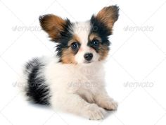 Realistic Graphic DOWNLOAD (.ai, .psd) :: http://jquery-css.de/pinterest-itmid-1007007767i.html ... papillon puppy ...  animal, canine, dog, isolated, long hair, papillon, papillon dog, pedigree, pet, puppy, purebred, studio, tricolor, white background, young  ... Realistic Photo Graphic Print Obejct Business Web Elements Illustration Design Templates ... DOWNLOAD :: http://jquery-css.de/pinterest-itmid-1007007767i.html