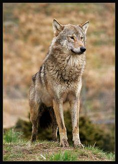 EUROPEAN GREY WOLF Canis lupus lupus Kincraig, Kingussie