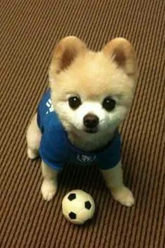 Pomeranian Teddy Bear Dog