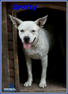 12/03/15-Meet Spotty, a Petfinder adoptable Cattle Dog Dog | Houston, TX | Petfinder.com is the world's largest database of adoptable pets and pet care information....