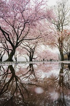 cherry blossom trees near river photo – Free Nature Image on Unsplash Cherry Blossom Pictures, Cherry Blossom Tree, Blossom Trees, Cherry Tree, Frühling Wallpaper, Flower Wallpaper, Cherry Blossom Wallpaper, Cherry Blossom Background, Bedroom Wallpaper