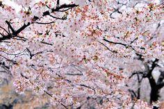 Cherry Blossoms & Rain | Flickr - Photo Sharing!