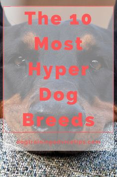If you are planning to adopt a dog that will fit your lifestyle, make sure that you choose the right breed. Here is a list of the 10 most hyper dog breeds. #dogtips #dogs #dogfacts Hyper Dog, Tiny Finger Tattoos, Dog Facts, Dog Training, Dog Breeds, Adoption, Cute Animals, How To Plan, Lifestyle
