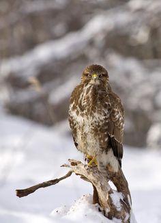🌐 Brown and White Eagle - download photo at Avopix.com for free    ✔ https://avopix.com/photo/47981-brown-and-white-eagle    #owl #bird #ruffed grouse #grouse #animal #avopix #free #photos #public #domain