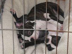 These Two Wonderful Boston Terriers Share Everything Including their Crate! Read more about them ► http://www.bterrier.com/?p=28759 - https://www.facebook.com/bterrierdogs