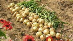 Bohatú úrodu budete mať mať aj v ťažších rokoch! Planting Vegetables, Growing Vegetables, Christmas Decorations To Make, Christmas Crafts, Gladioli, Clever Diy, Garden Paths, Flora, Gardening
