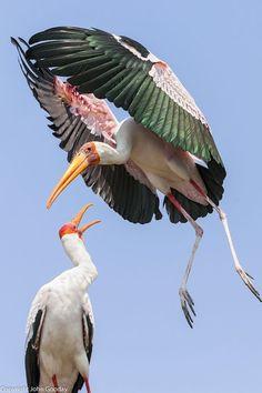 https://i.pinimg.com/736x/6a/ca/23/6aca236206ccb0f0b11f638654cbe7d5--birdwatching-stork.jpg