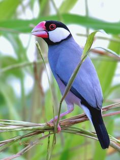 Java Sparrow (Padda oryzivora), by Grandpa@50*