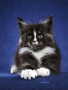 Stripey, an 8 week old Black and White Maine Coon http://www.mainecoonguide.com/kittens/