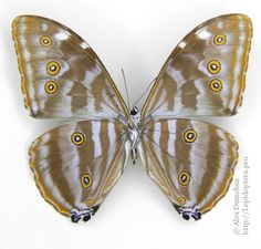 Morpho Butterfly, Butterfly Images, Moth, Insects, Animals, Papillons, Animales, Animaux, Animal