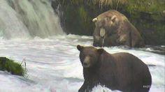 I'm watching #bearcam on @exploreorg, streaming live from Brooks Falls, Alaska…