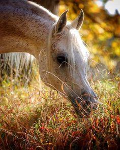 Sweet fleabitten coat Arabian horse grazing in the lazy sunshine.