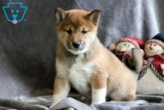 This baby is a super cute Shiba Inu puppy who loves kisses & snuggles. He enjoys having his tummy rubbed and will make a playful companion. Siberian Husky Puppies, Husky Puppy, Siberian Huskies, Corgi Puppies, Equine Photography, Animal Photography, Black Lab Puppies, Black Labs, German Shepherd Puppies
