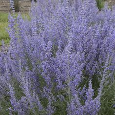 Buy Perovskia Denim n Lace - Buy Russian Sage Perennials Online. Garden Crossings Online Garden Center offers a large selection of Russian Sage Plants. Shop our Online Perennial catalog today. Flowers Perennials, Planting Flowers, Deer Resistant Perennials, Deer Resistant Landscaping, Russian Sage, Sage Plant, Hummingbird Plants, Blue Plants, Blue And Purple Flowers