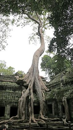 Tomb Raider Tree at Ta Prohm ancient Angkor Wat Temple, #Cambodia