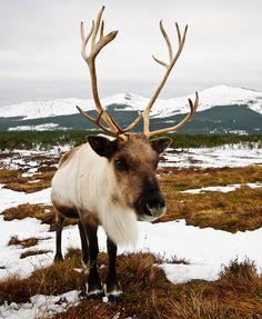 Photo of the Cairngorm reindeer - the only wild reindeer herd in UK. Taken in Glenmore, near Aviemore