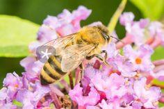 """""""Biene an Flieder"""" Fotografie als Poster und Kunstdruck von toeffelshop bestellen. - ARTFLAKES.COM"""