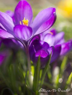 Frühlingsbild violette Krokus im abendlichen Gegenlicht. Leinwandbild, gerahmter Kunstdruck oder Fototapete.