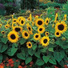 Sunflower Little Dorrit F1 Mr Fothergill's Range Seed - Irish Plants Direct