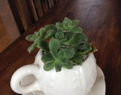 White sea urchin tea cup succulent arrangement