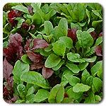 Organic Beta Salad Mix