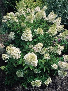 Begin Pruning Once Hydrangea Blooms