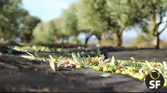 An excellent Extra virgin Olive Oil begins with great cares during the harvest