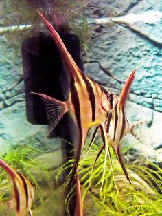 Pterophyllum scalare altum: altum angel -- may eat small tetras Aquascaping, Tropical Aquarium, Tropical Fish, Coldwater Fish, Cool Fish, Freshwater Aquarium Fish, Discus, Angel Fish, Beautiful Fish