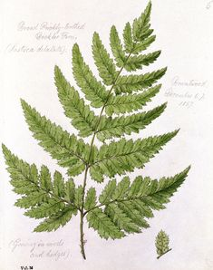 Buckler Fern Painting  - Buckler Fern by William James Linton