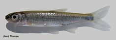 Popeye Shiner - Notropis ariommus  Popeye shiners were thought to have disappeared from Ohio prior to 1900 until a population was discovered in Scioto Brush Creek in Southern Ohio in the mid 1980's.   ! Ohio Status: Endangered