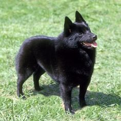 Schipperke...looks almost exactly like our Skipper