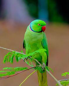 Parrot by Ryan Khine