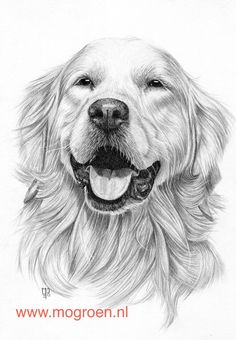 Secrets Of Drawing Realistic Pencil Portraits - how_to_draw_a_golden_retriever.jpg Secrets Of Drawing Realistic Pencil Portraits - Discover The Secrets Of Drawing Realistic Pencil Portraits Pencil Drawing Tutorials, Pencil Art Drawings, Art Drawings Sketches, Drawing Tips, Dog Drawings, Realistic Animal Drawings, Drawing Ideas, Drawing Drawing, Sketches Of Dogs