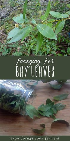 Did you know that you can forage for bay leaves? Wild bay trees are easy to find in California and Southern Oregon. Once dried, they are a lovely herb to add to your spice collection with a variety of culinary and medicinal properties. Plus foraging for your own bay leaves is much more economical than buying them at the store, and the flavor is unbeatable! Let's go foraging for bay leaves! #foraging #herbs #herbalism