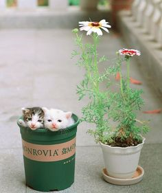What could be more purrrfect then to celebrate #nationalcatday with plants and these two cuties! Aww _____________________________ Photo credit: iMiao5 _____________________________ #monrovianursery #monroviaplants #monrovia #catsofinstagram #cats #catlover #catstagram #instacat #flowers #bloom #kitten