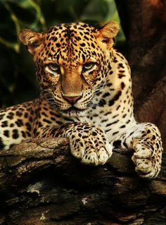 .Wow... This leopard takes my breath away