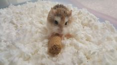 This sub is dedicated to hamsters and their humans. Robo Dwarf Hamsters, Cute Hamsters, Fluffy Animals, Animals And Pets, Cute Animals, Hamster Stuff, Rodents, Derp, Cuddle