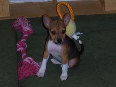 Teagan, basenji puppy!