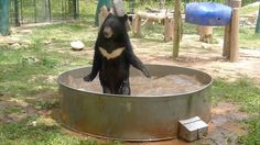 Rescued Asian Black Bear Cub with White Batman Logo Splashes Around Happily in a Nice Cool Bath.