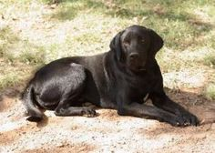HUNTER URGENT!!! is an adoptable Labrador Retriever Dog in Waldron, AR. Please contact Sharron ( RockyMTN99@aol.com ) for more information about this pet. Adopting a Dog. The first step in any adoptio...