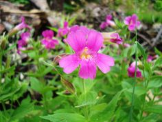 Pink Monkeyflower, North Cascades National Park, Washington (pinned by haw-creek.com)